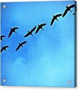 Sandhill Crane Flyover Acrylic Print