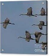 Sandhill Crane Group Acrylic Print