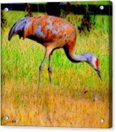 Sandhill Crane I Acrylic Print