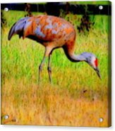 Sandhill Crane II Acrylic Print