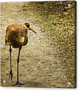 Sandhill Crane On The Road Acrylic Print