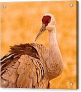 Sandhill Crane Posing Acrylic Print