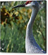Sandhill Crane Profile Acrylic Print