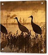 Sandhill Crane Trio At Sunrise Bosque Acrylic Print