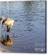 Sandhill Crane Vs Alligator Acrylic Print