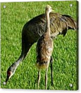 Sandhill Crane With Chick II Acrylic Print