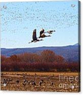 Sandhill Cranes 6 Acrylic Print