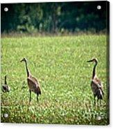 Sandhill Cranes And Friends Acrylic Print