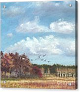 Sandhill Cranes At Crex With Birch  Acrylic Print by Jymme Golden