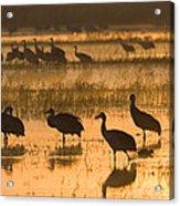 Sandhill Cranes Bosque Del Apache Nwr Acrylic Print