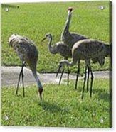 Sandhill Cranes Family Acrylic Print by Zina Stromberg