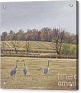 Sandhill Cranes Feeding In Field  Acrylic Print by Jymme Golden
