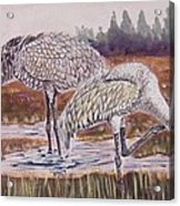 Sandhill Cranes Feeding Acrylic Print