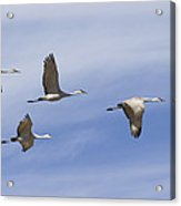 Sandhill Cranes Grus Canadensis Flying Acrylic Print