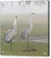 Sandhill Cranes In A Foggy Morning Acrylic Print
