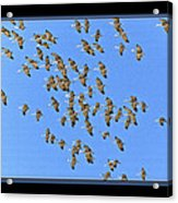 Sandhill Cranes In Mass Acrylic Print