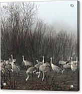 Sandhill Cranes In The Fog Acrylic Print