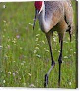 Sandhill Cranes Acrylic Print