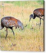 Sandhill Cranes Ll Acrylic Print