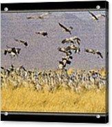 Sandhill Cranes On The Ground Acrylic Print