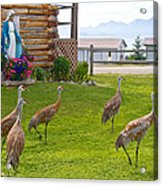 Sandhill Cranes On The Lawn By The Statue Of Mary In Homer-alaska Acrylic Print