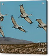 Sandhill Cranes Over Chupadera Mountains Acrylic Print