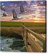 Sandhill Cranes Over Rice Fields Acrylic Print