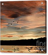 Sandhill Cranes Roosting At Sunset Acrylic Print