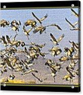 Sandhill Cranes Startled 2 Acrylic Print