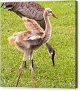 Sandhill Cranes Walking Around Acrylic Print