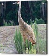 Sandhill Standing Tall Acrylic Print