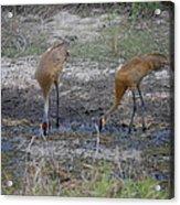 Sandhill Stork Acrylic Print