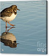 Sandpiper Bird Walking On Water Acrylic Print