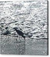 Sandpiper Finds Food In Surf Acrylic Print