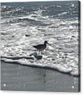 Sandpiper In The Surf Acrylic Print