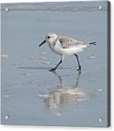 Sandpiper On A Mission Acrylic Print