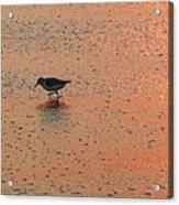 Sandpiper On Shoreline Acrylic Print