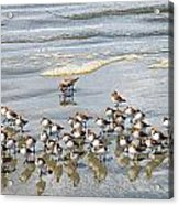 Sandpiper Reflections Acrylic Print