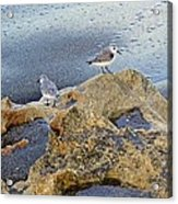 Sandpipers On Coral Beach Acrylic Print