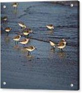 Sandpipers 5 Acrylic Print