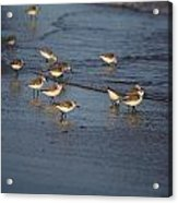 Sandpipers 6 Acrylic Print