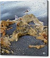 Sandpipers 1 Acrylic Print