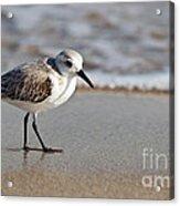 Sandpipers Secrets Acrylic Print