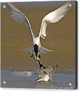 Sandwich Tern Bringing Fish To Its Mate Acrylic Print