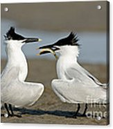 Sandwich Tern Offering Fish Acrylic Print