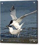 Sandwich Terns Mating Acrylic Print