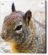 Sandy Nose Squirrel Acrylic Print