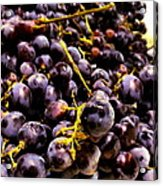 Sangiovese Grapes Acrylic Print