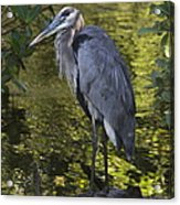 Sanibel Great Blue Heron Acrylic Print