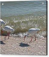Sanibel Ibis Acrylic Print